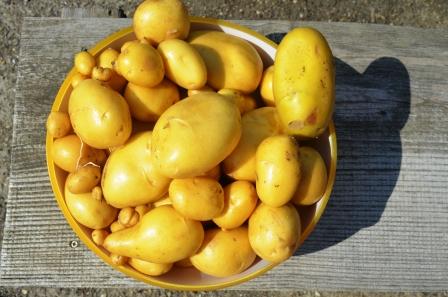 Kartoffeln pflanzen Ernte