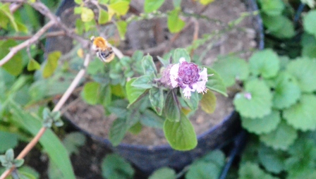 Basilikum Bienen und Hummeln