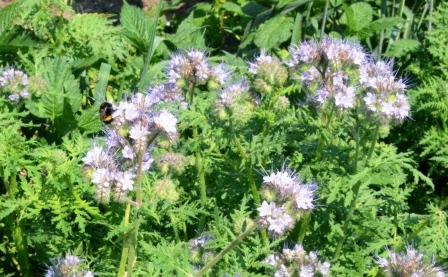 Phacelia Bienen und Hummeln