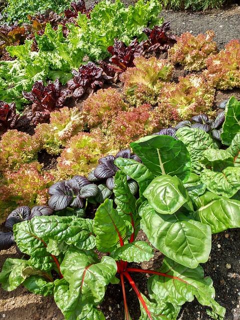 Salat Aussaatpläne im September