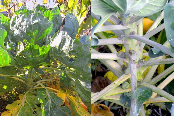 Gemüsegarten Anbauplan Rosenkohl