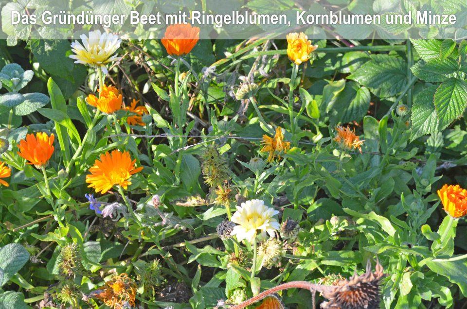 Aussaatplaene im Februar, Gemüsebeet mit Gründünger