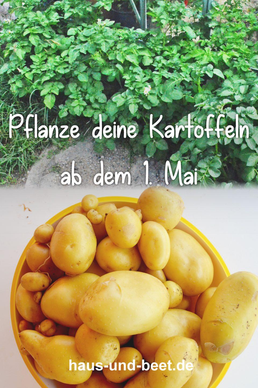 Kartoffeln planzen ab 1. Mai