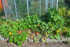 Mythen über Gemüse anbauen