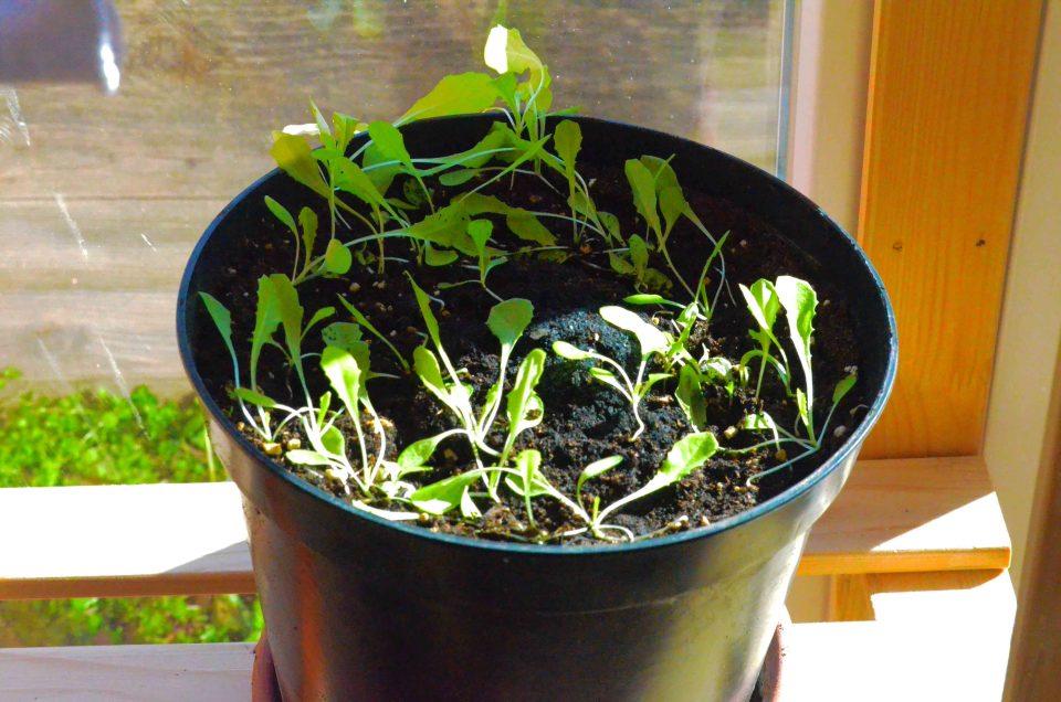 Salat anbauen Wann auspflanzen
