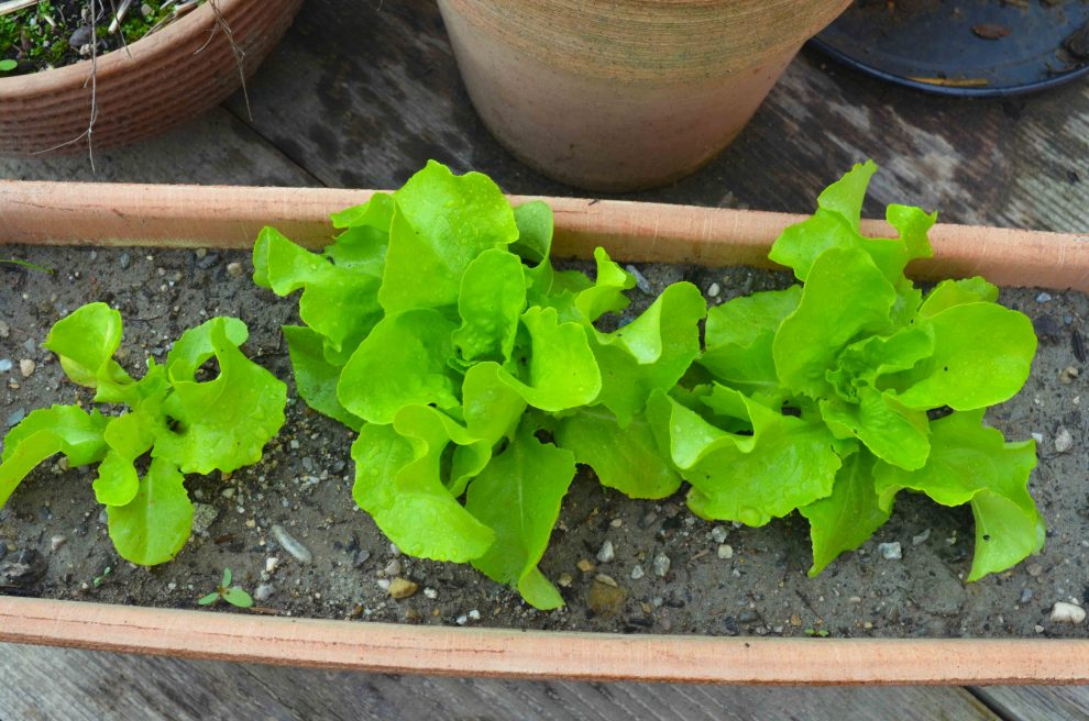 Salat anbauen einfach daheim