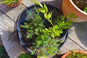 Gemüse anbauen im Topf für Anfänger