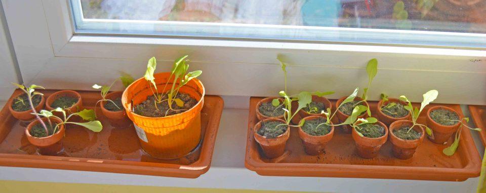 Salat anbauen daheim auf dem Fensterbrett