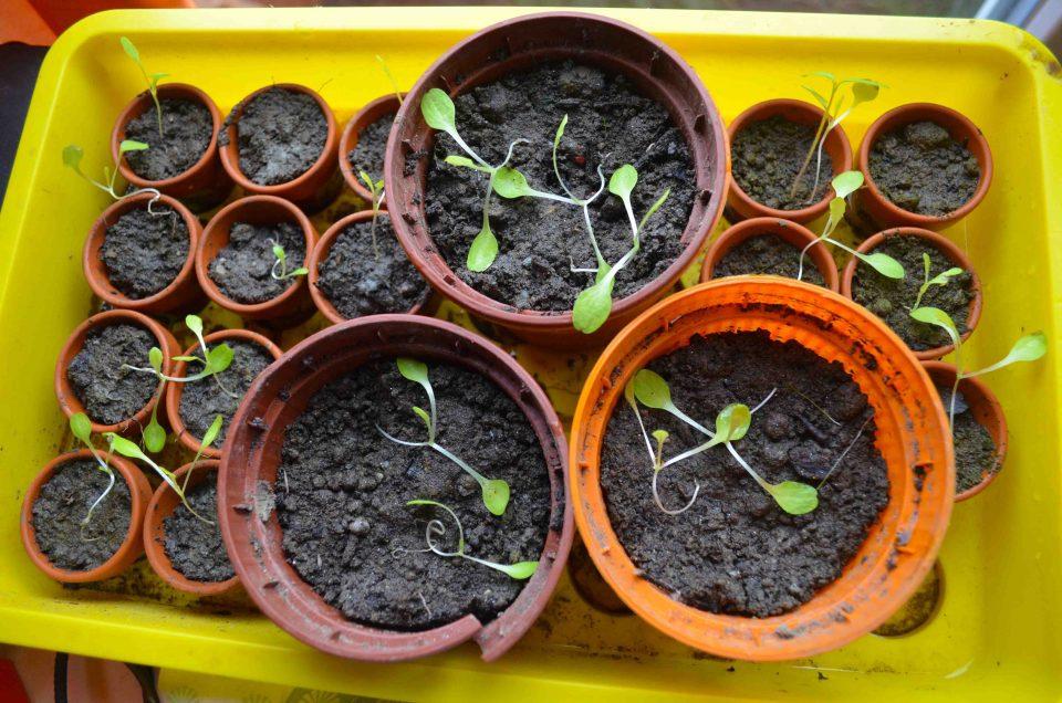 Salat anbauen aus selbst gewonnenen Samen
