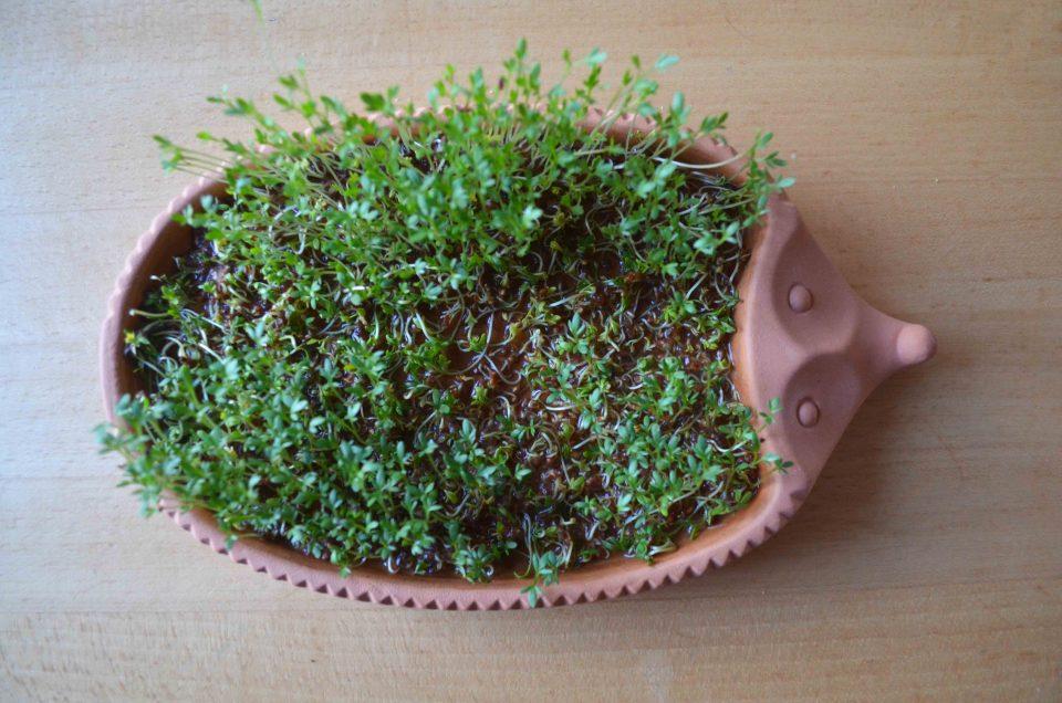 Sprossen Salat Kresse Igel