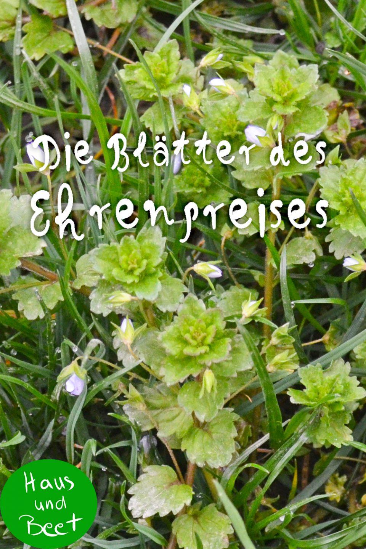 Ehrenpreis Blätter