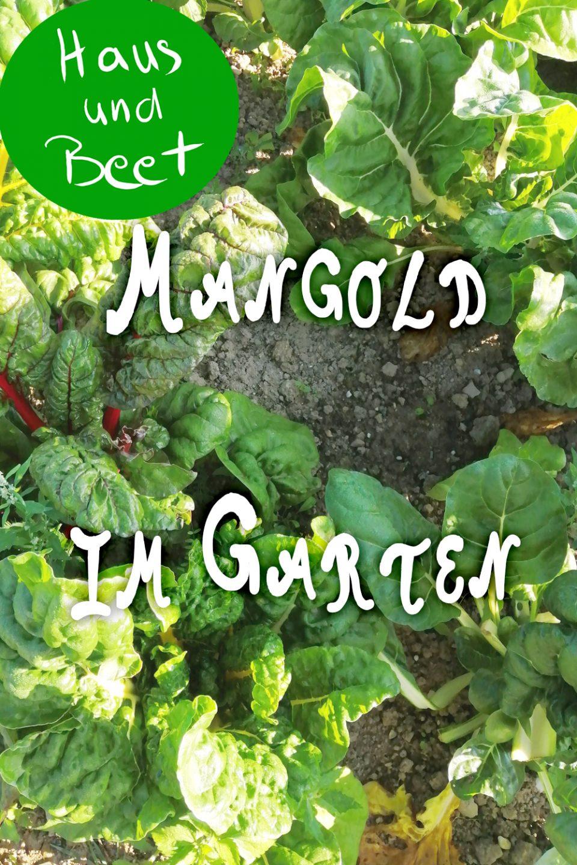 Mangold anbauen