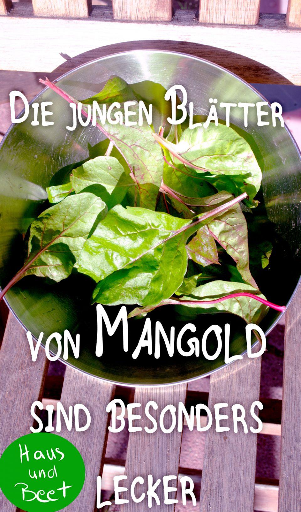 Mangold junge Blätter