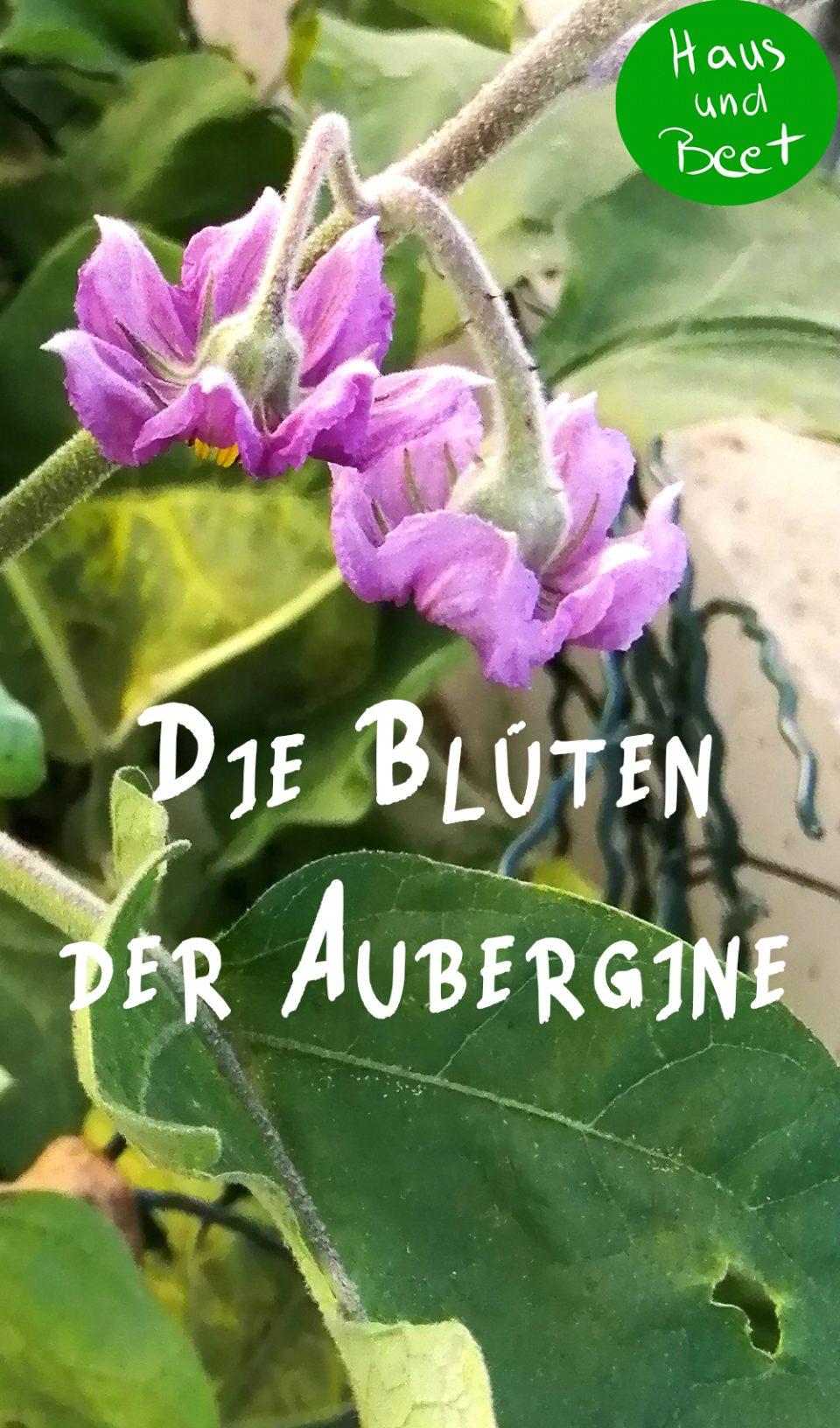 Aubergine anbauen