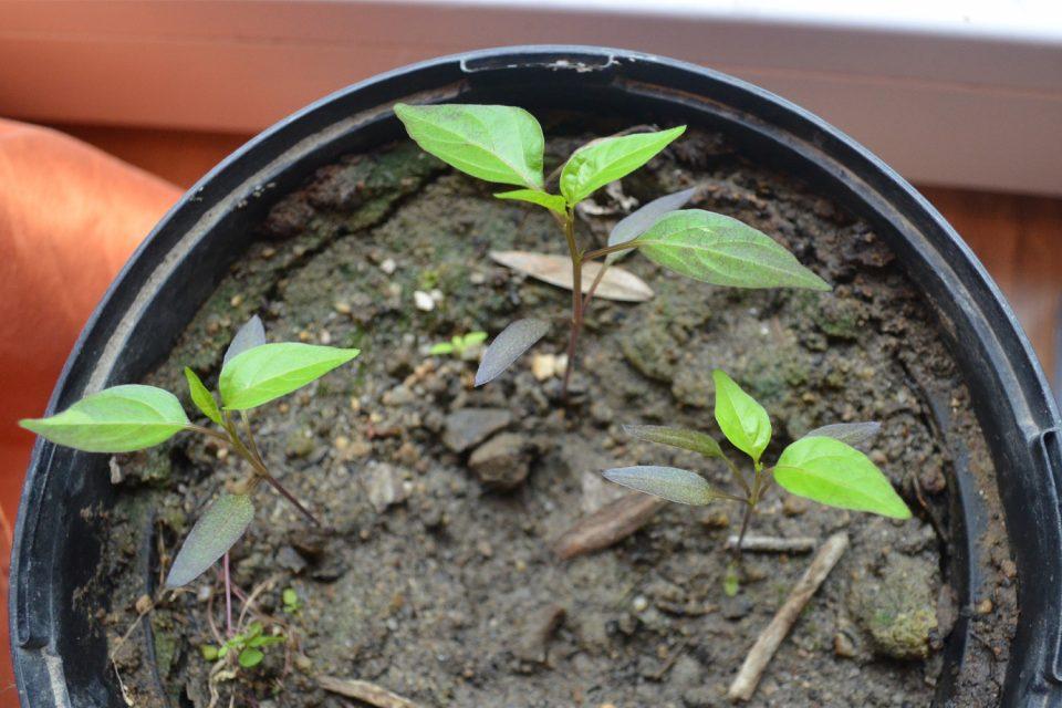Chili pflanzen klein