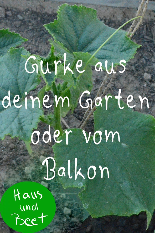 Gurke anbauen Garten und Balkon