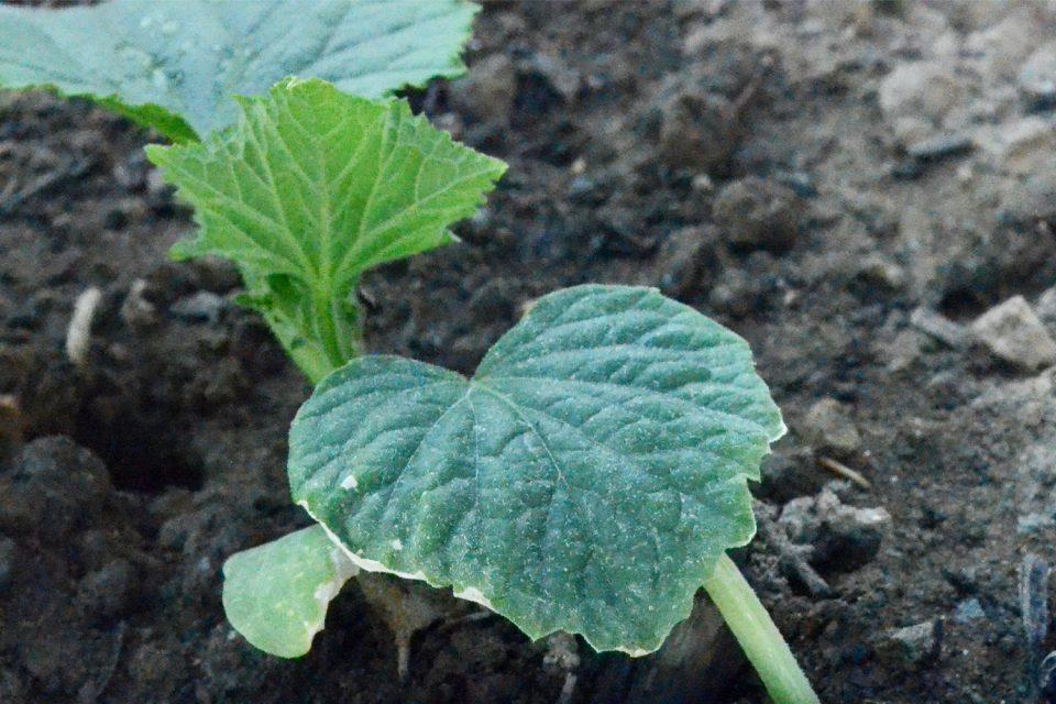 Gurke junge Pflanze