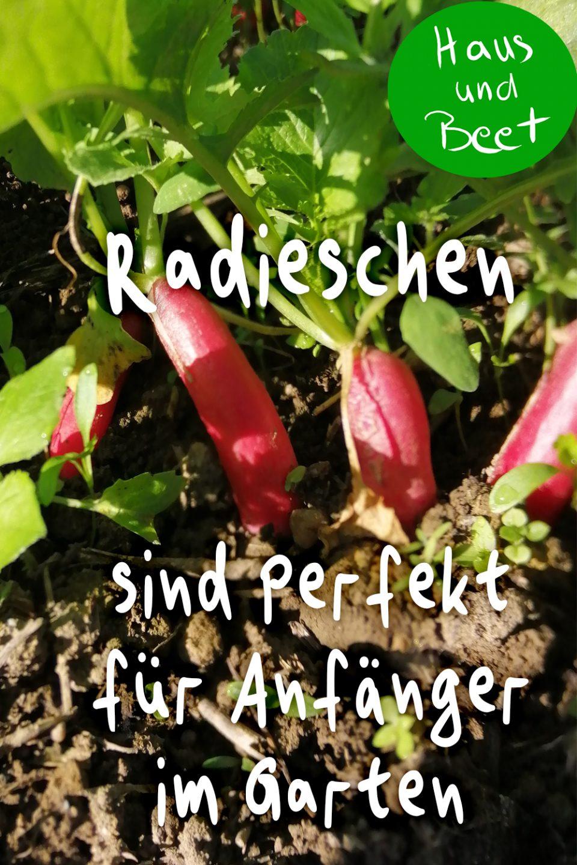 Radieschen anbauen in Garten und Balkon