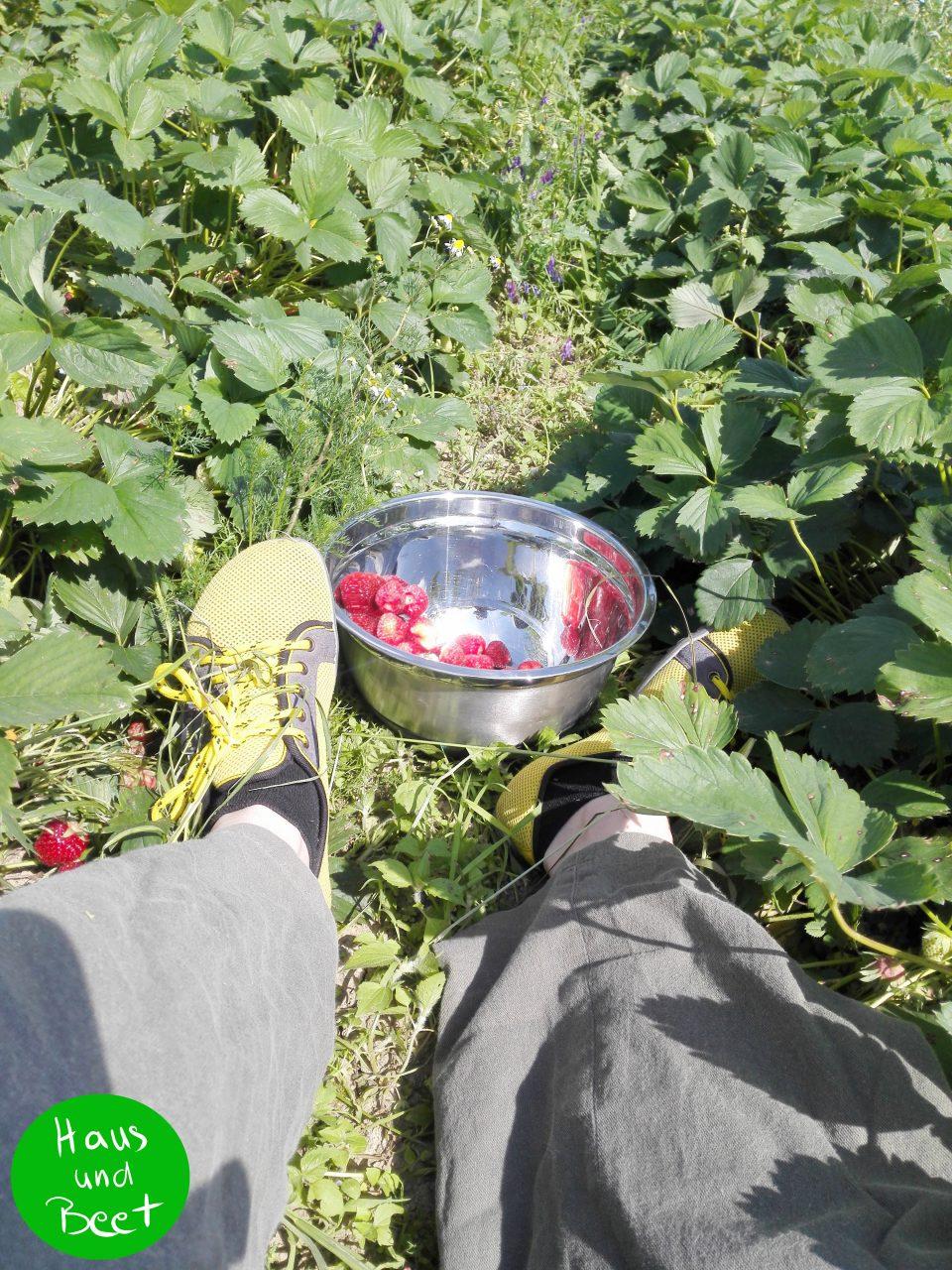 Erdbeeren pflücken für den Erdbeerlimes