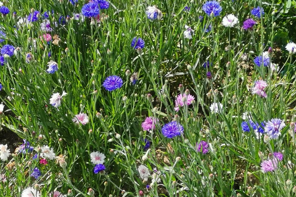 Kornblume Blüten Farben